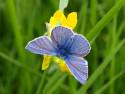 Tapeta Modrý motýl