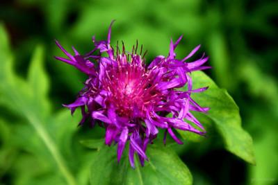 Tapeta: fialová