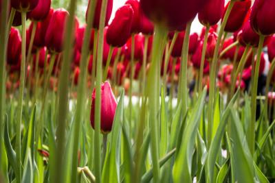 Tapeta:  červené tulipány