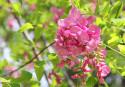 Tapeta Akát růžový
