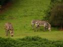 Tapeta A load o' zebras