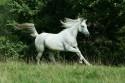Tapeta Arabský kůň