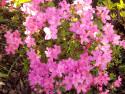 Tapeta Azalka růžová