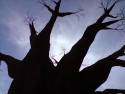 Tapeta Baobab