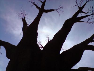 Tapeta: Baobab