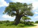 Tapeta Baobab - Tarangire