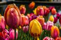 Tapeta Barevné tulipány