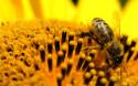 Tapeta Bee