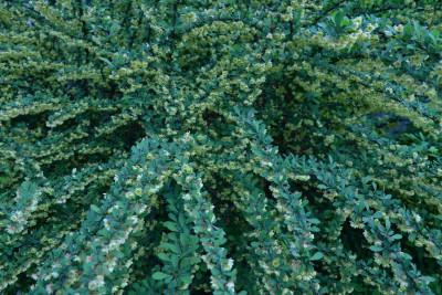 Tapeta: Berberis (dřišťál)