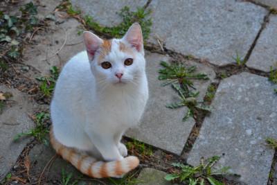 Tapeta: Bílá kočička