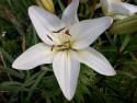 Tapeta Bílá lilie vysoká