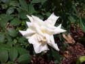 Tapeta Bílá růže