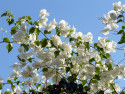Tapeta Bílé květy