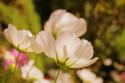 Tapeta Bílé květy6