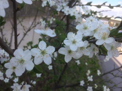 Tapeta: Bílé květy 1