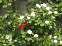 Tapeta Bílé růže