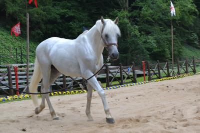 Tapeta: Bílý kůň
