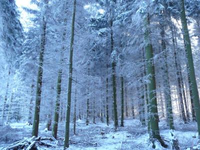 Tapeta: bílý les