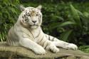 Tapeta Bílý tygr