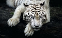 Tapeta Bílý tygr 2