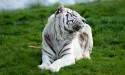 Tapeta Bílý tygr 3