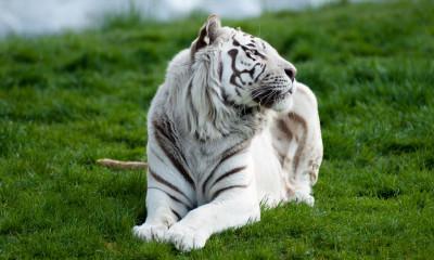 Tapeta: Bílý tygr 3