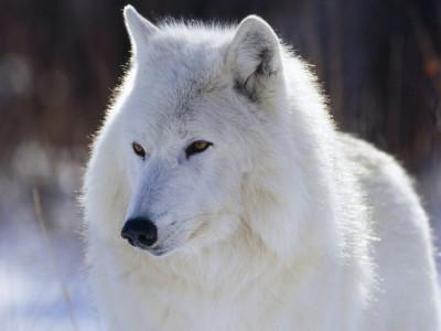 Tapeta: Bílý vlk