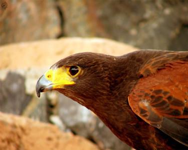 Tapeta: Bird of Prey