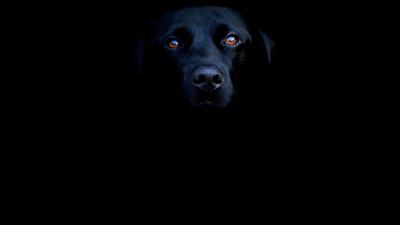 Tapeta: Black dog