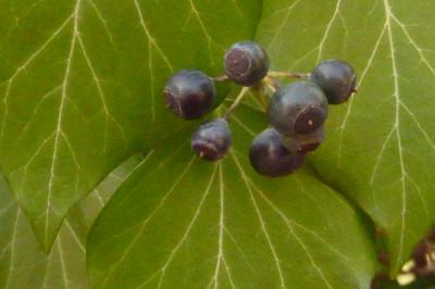 Tapeta: Bobulky břečťanu