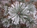 Tapeta Borovice v zimě