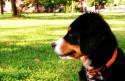 Tapeta BSP štěně