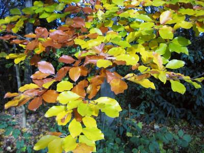 Tapeta: Bukové listí