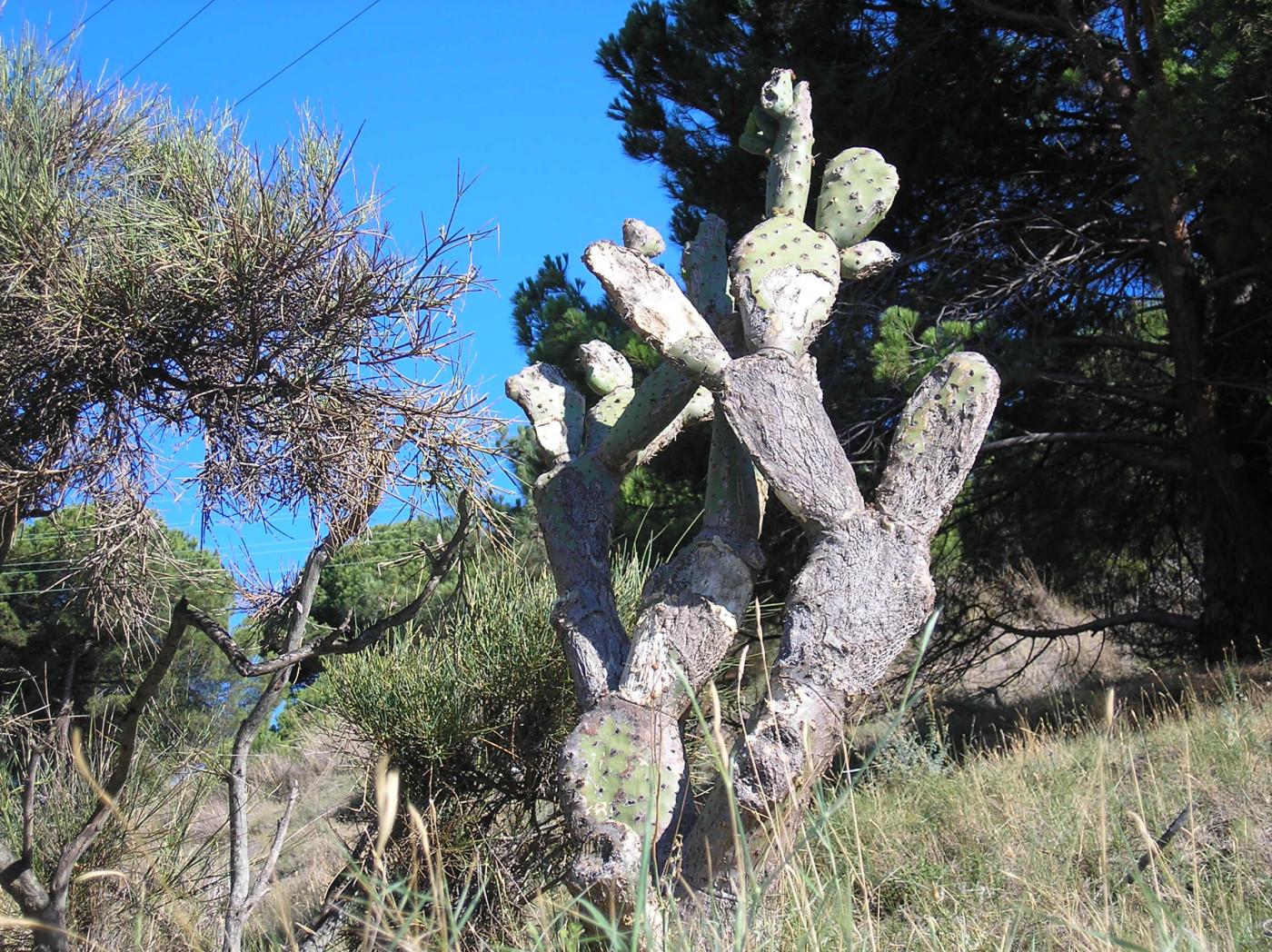 Tapeta calella_kaktus_1