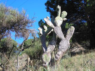 Tapeta: Calella-kaktus 1