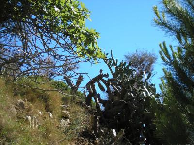Tapeta: Calella-kaktus 2