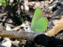 Tapeta Callophrys rubi 2