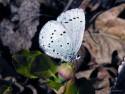 Tapeta Celastrina argiolus