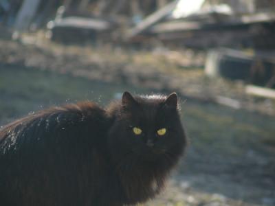Tapeta: černá kočka