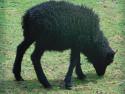 Tapeta Černá ovečka