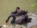 Tapeta Černé labutě