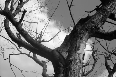 Tapeta: Cernobily strom