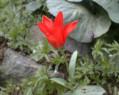 Tapeta Červená květina