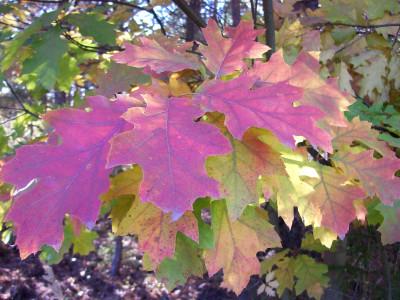Tapeta: Červené dubové listí