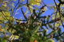 Tapeta červené šišky
