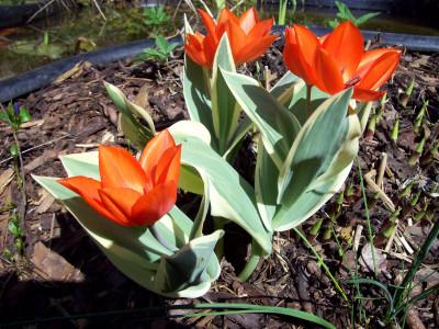 Tapeta: Červené tulipány nízké