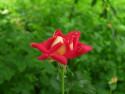 Tapeta Červenožlutá růže