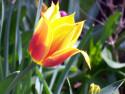 Tapeta Červenožlutý tulipán