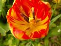 Tapeta červený tulipán