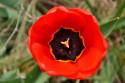 Tapeta Červený tulipán 2